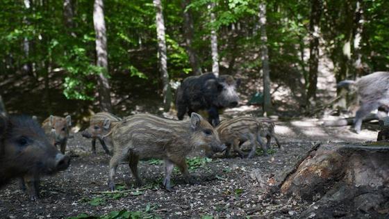 Стадо кабанов гуляет по лесу