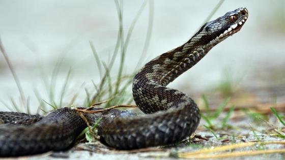 Змея высоко подняла голову