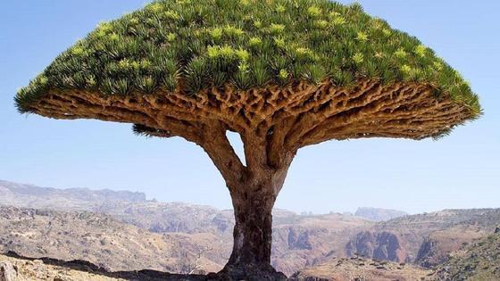 Дерево на острове Сокотра в Йемене