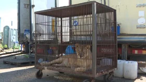 Львица по кличке Ляля в клетке