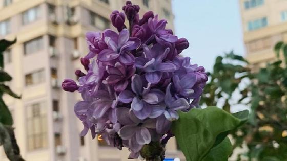 цветы на кусту сирени