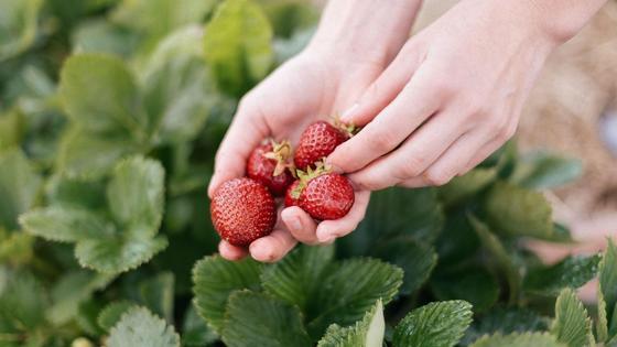 Спелые плоды клубники в руке
