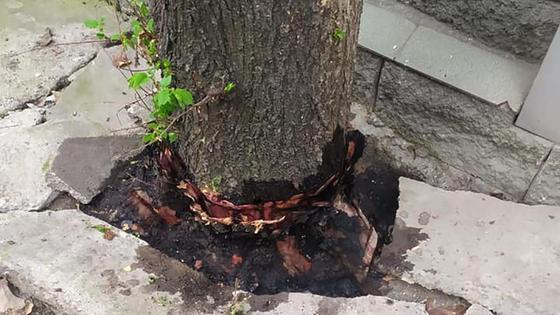 Дерево облили керосином