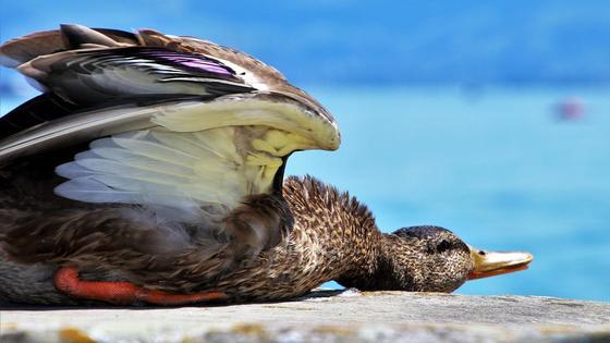 Дикая утка лежит возле воды