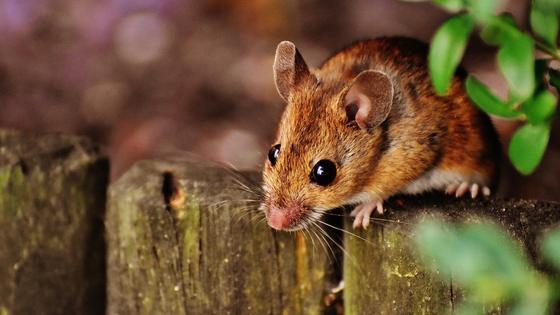 Мышь пробирается в дом