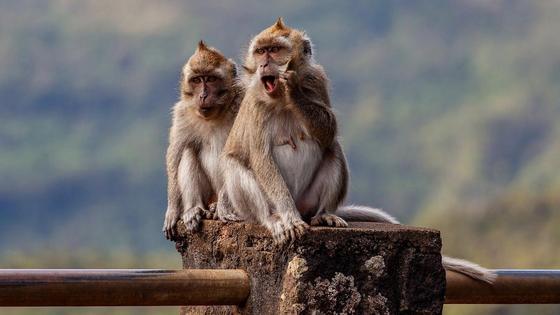 Две макаки сидят на заборе