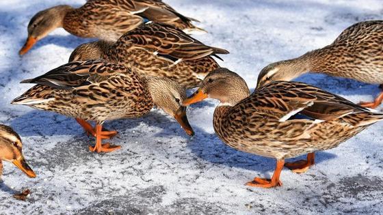 Утки гуляют по снегу