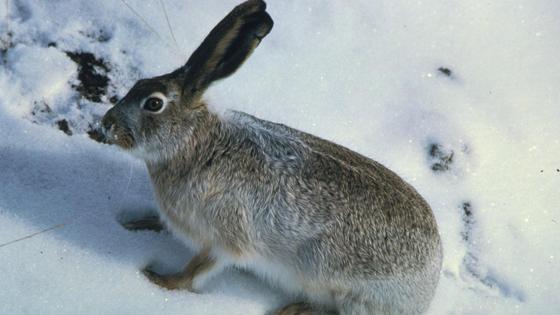 Дикий заяц сидит на снегу