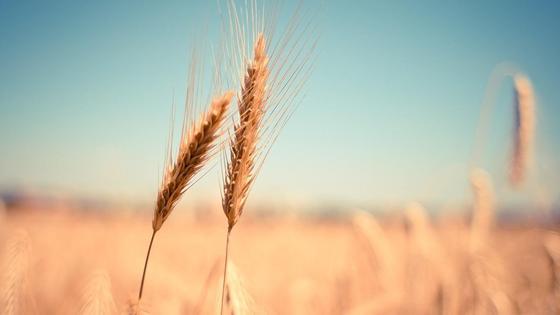 Пшеница растет на поле