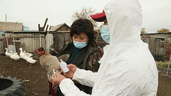 Птице делают вакцинацию в Костанайской области