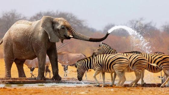 слон поливает водой зебр